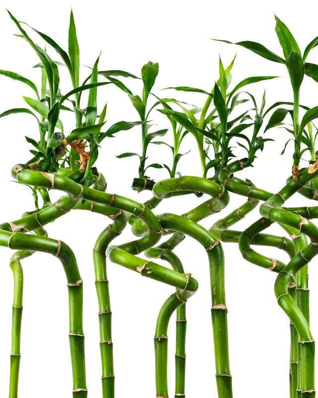 bambou-porte-bonheur-