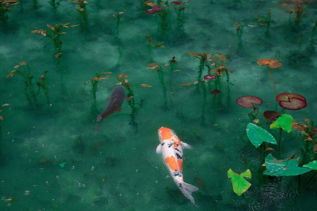 Carpes Koi dasn un étang